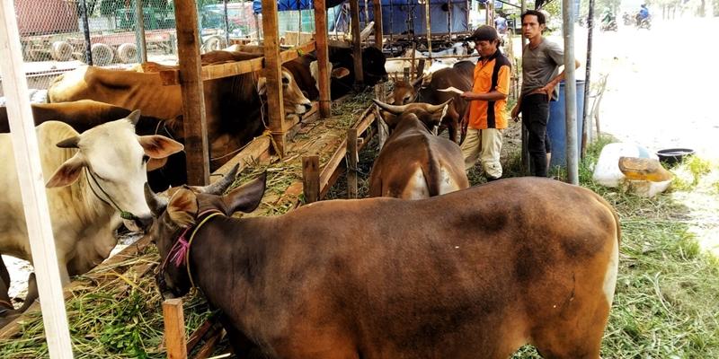 Pedagang: 99 Persen Ternak Sapi dan Kambing di Batam Berasal dari Lampung