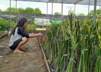 Henrik Hermawan memperagakan proses pembibitan mangrove. (Foto: Antorius Zagoto)